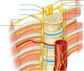 nerve sympathetic dallas - Lumbar Sympathetic Blocks
